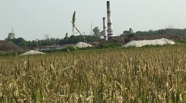 Heat from brick kilns destroys paddy on 166 acres in Manikganj